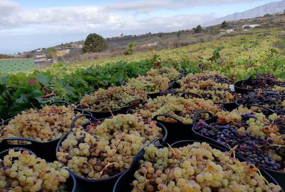 La Asociación de Viticultores y Bodegueros de Canarias (AVIBO) presenta un plan de rescate del sector Vitivinícola